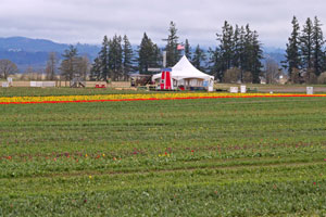 Record Cool March Makes Woodburn Tulips Late To Their Own Festival