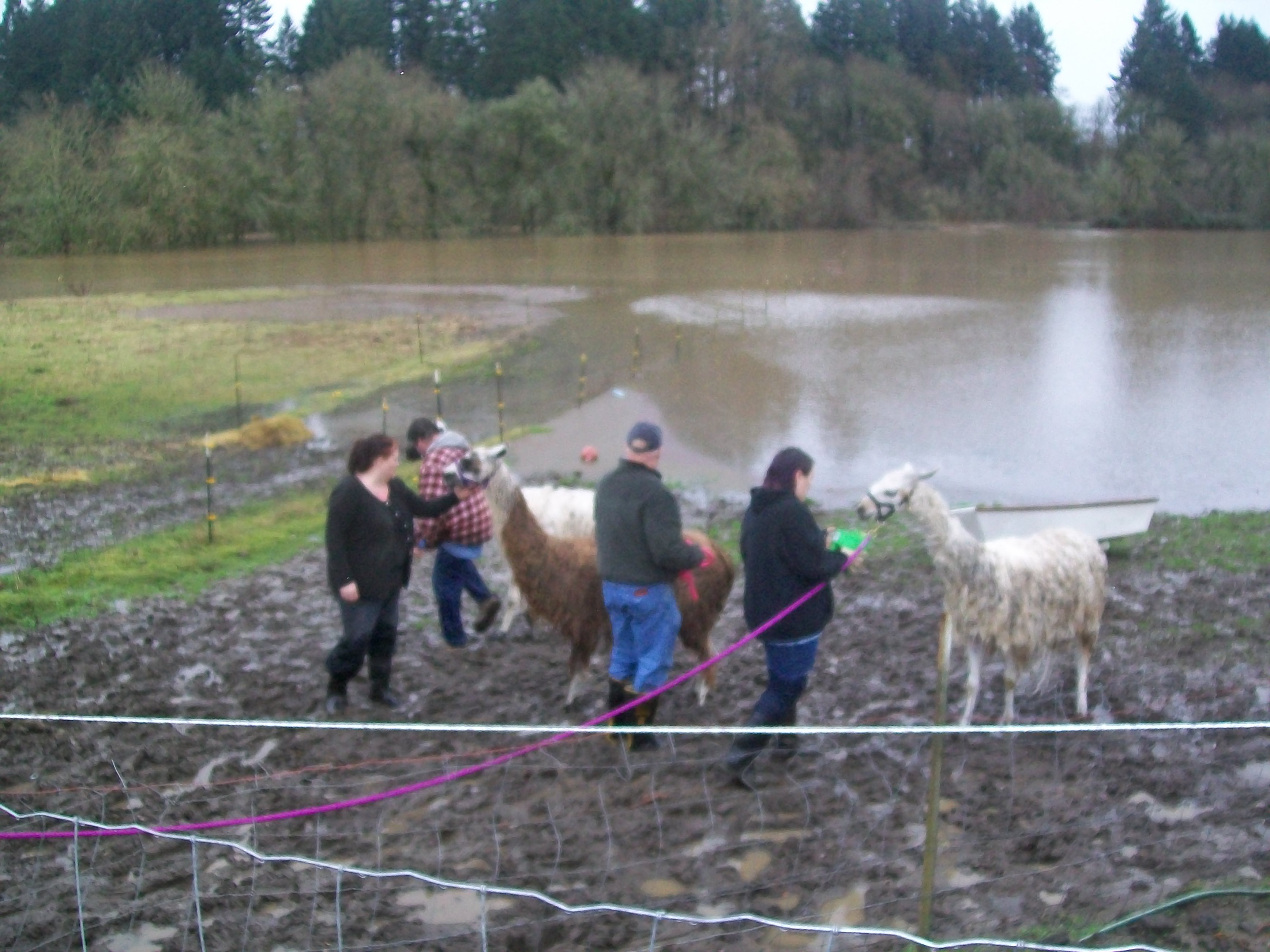 Daring Llama Rescue In Willamette Valley Flooding