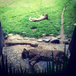 cheetahs-resting-photo